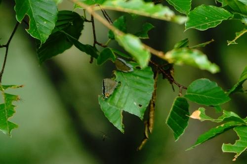 ウラクロシジミ♂エゾミドリシジミ♀