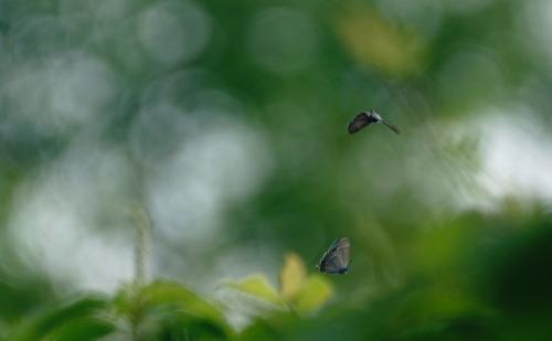 ジョウザンミドリシジミ飛翔1