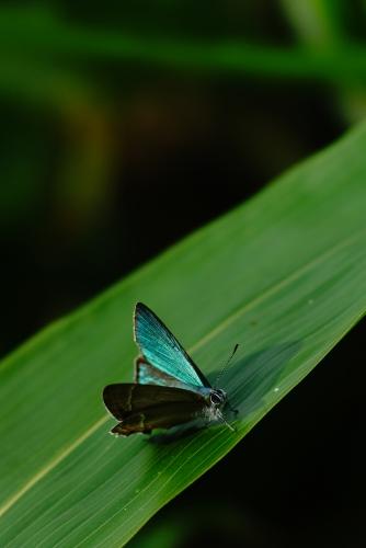 ジョウザンミドリシジミ♂1