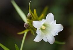 131103白花りんどう