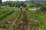 ジャガイモの畝寄せ