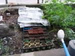 白菜の種蒔き