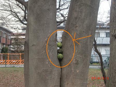 木にボールがなってるでしゅ