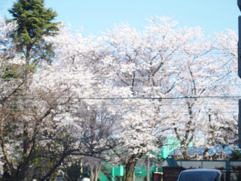 あっ!桜が満開でしゅ