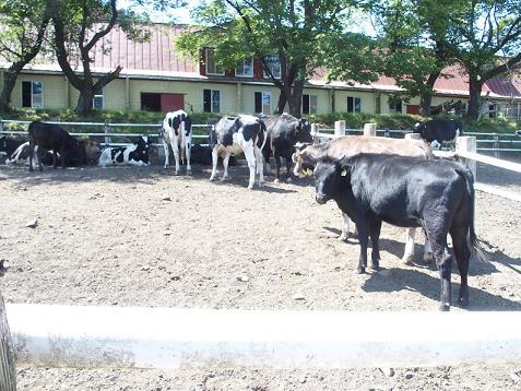 さすがに、牛さんは柵の中でしゅ