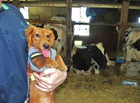 牛舎の中でしゅ