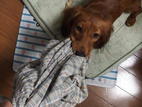 パパのパジャマと戦ってましゅ