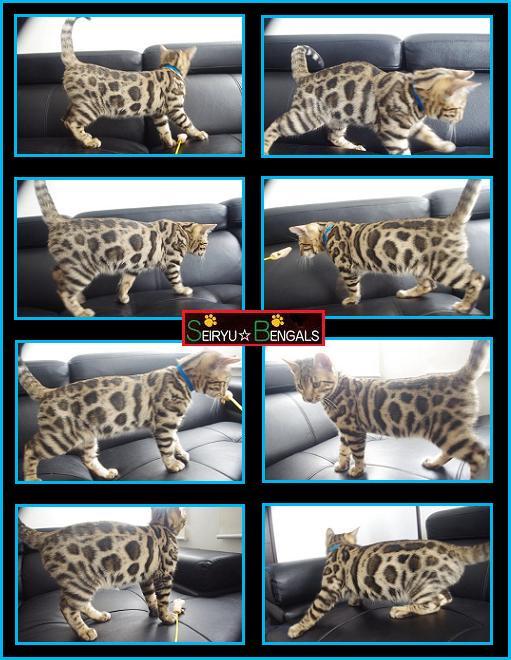 2013 Last Kitten Blue 5