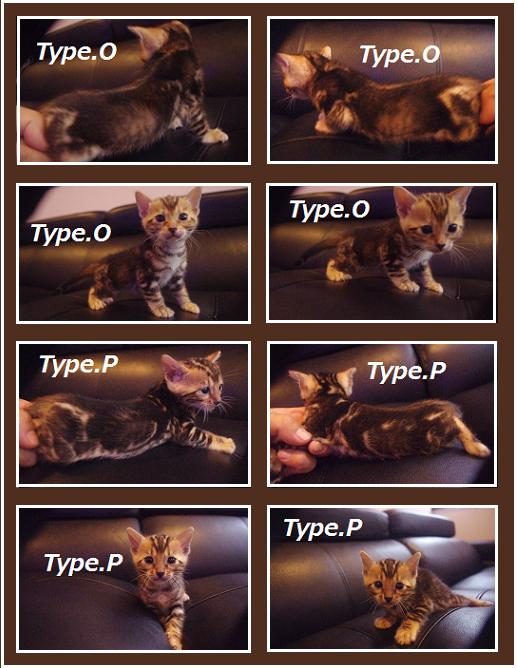 2014 kitten type [O]& [P]