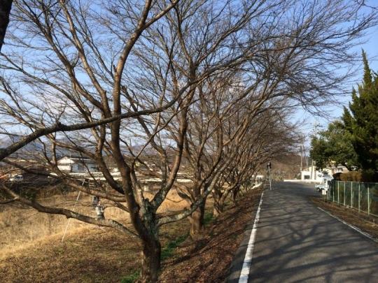 20140216_桜の枝切り_002