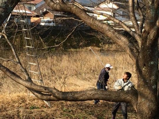 20140216_桜の枝切り_003
