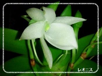 夜香の蘭、すっきり甘い香りv