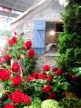 白壁と赤薔薇