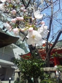 四宮神社桜