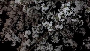 桜2IMG_20140401_224134