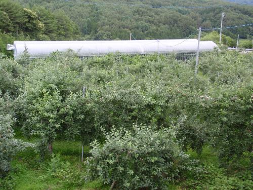 リンゴ畑の向こう
