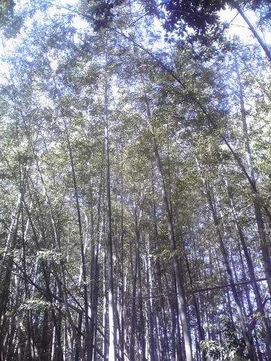 願成就寺の竹林