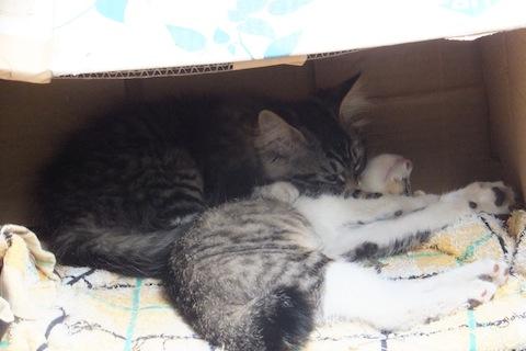 シマヲも箱で寝たい