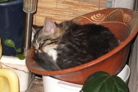 鉢猫シマを1 のコピー