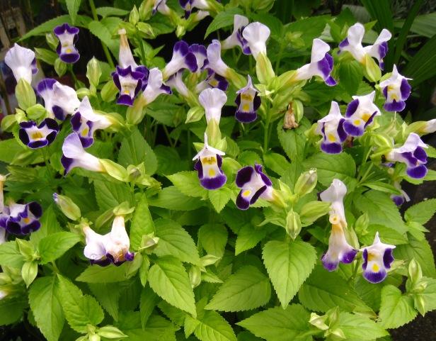 8月の花壇(サルビアミクロフィラ)