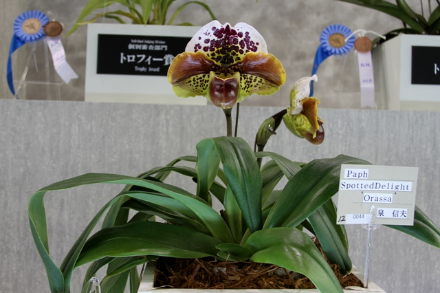 "Paph.Spotted Delight ""Orassa"""