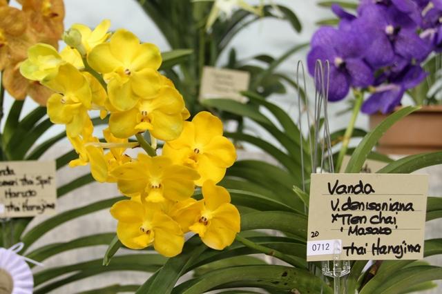 """V.denisoniana × Tien Chai  """"Masako"""""""