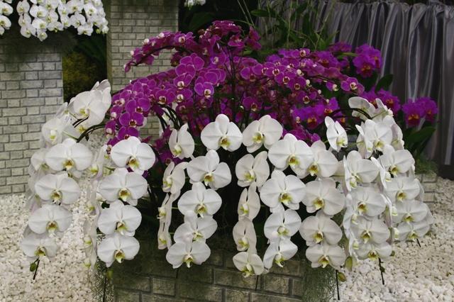 ディスプレイの胡蝶蘭