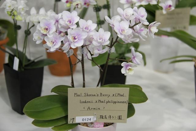 """Phal.Sheena's Berry × (Phal.lindenii × Phal.philippinensis) """"Armin"""""""