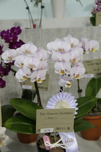 "Phal.Sheena's Christopher ""Mew"""