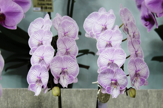 Dtps.Mount Lip × Phal.Yu Pin Finework's NY-74-2