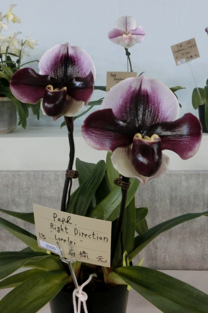 "Paph.Rigt Direction ""Lorelei"""