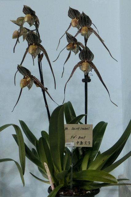 "Paph.Saint Isabel ""FN-Beat"""