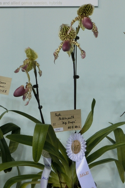 "Paph.Pebblepath ""Big Drops"""