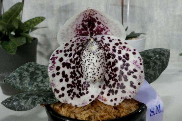 "Paph.bellatulum ""Kuon No16"""