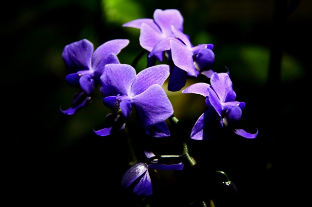 世界初 青い胡蝶蘭