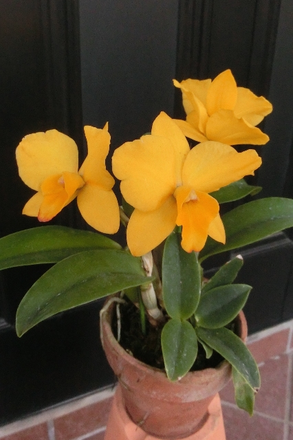 "Slc.Petitpetit Candy ""Yellow Bird"""