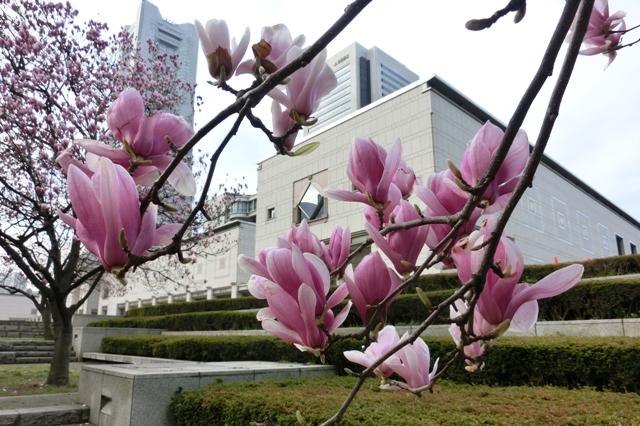 横浜美術館前のシモクレン(紫木蓮)
