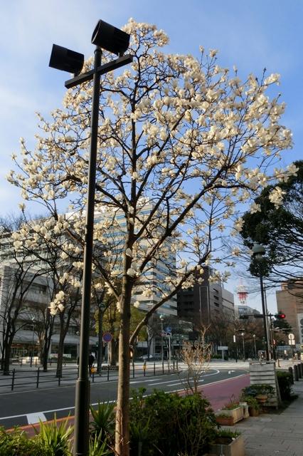 開港記念会館前のハクモクレン(白木蓮)