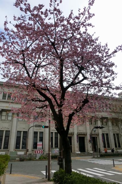日本郵船歴史博物館前の大寒桜