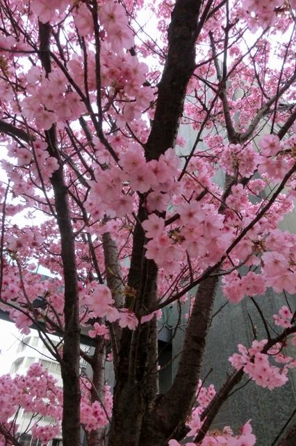 陽光桜(神奈川県庁第二分庁舎前)