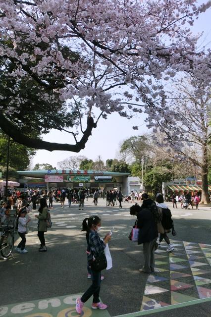 うえの桜まつり(上野動物園)