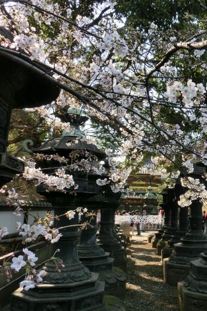 うえの桜まつり(上野東照宮)