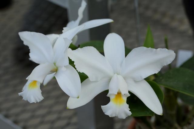 """C.violacea v.alba """"Rondonia"""" × """"BelaVista"""""""