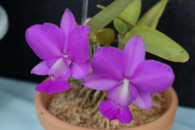 "C.walkeriana ""Feather Island"""