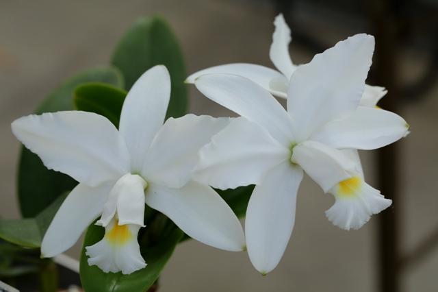C.violacea