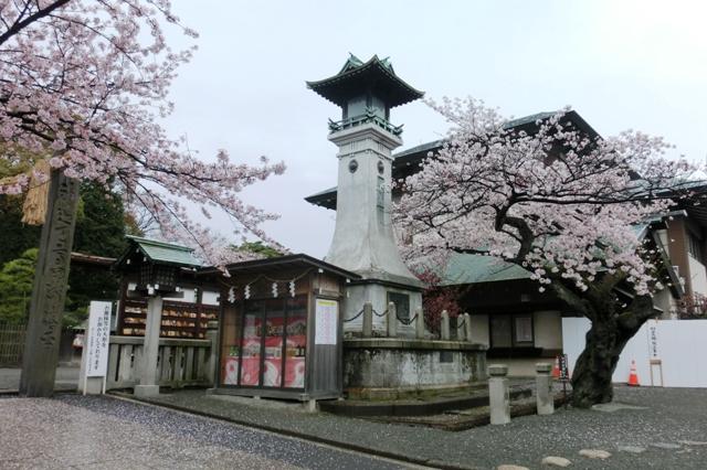 伊勢山皇大神宮の桜