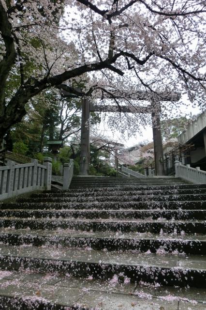 参道に散る桜