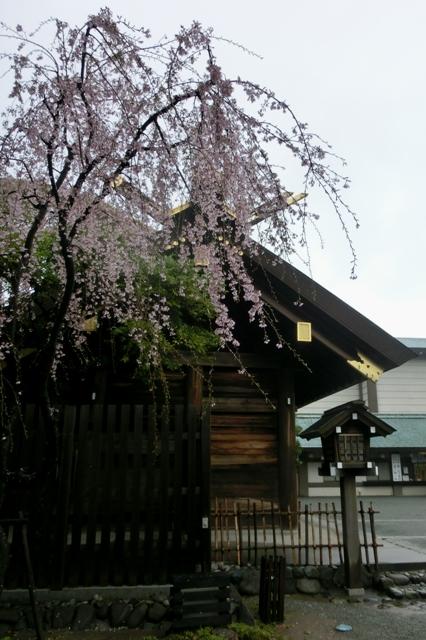 御社殿脇のしだれ桜