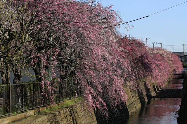 小糸川のしだれ桜