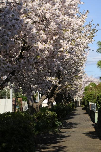 小糸川のしだれ桜9